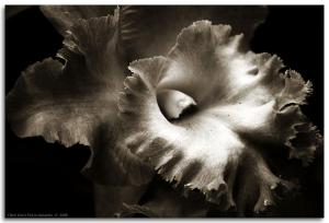 Black Orchid by Arjay
